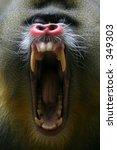 Mandrill Yawning