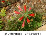 Small photo of Parrot Lily (Alstroemeria psittacina), a Brazilian plant with trumpet-shaped flowers, viewed from above