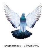 Domestic Pigeon Bird In Flying...