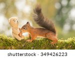 Red Squirrel Standing With A...