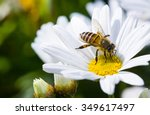 Spring Single Daisy Flower And...