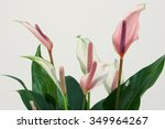 Blossoming Plant Of Anthurium.