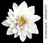 tender white flower dahlia... | Shutterstock . vector #350068757