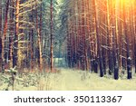 Pine Snowy Forest In Winter