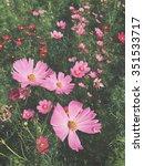 pink cosmos flower | Shutterstock . vector #351533717