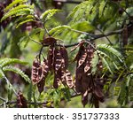 Small photo of Dried long brown seed pods of Acacia mearnsii Black wattle a fast-growing leguminous shade tree native to Southeastern Australia with scented pale yellow flowers in summer is habitat for birds.