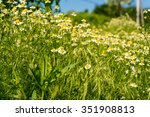 medical daisy growing in the...   Shutterstock . vector #351908813