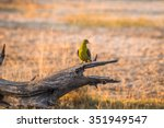 Small photo of African Green Pigeon (Treron calvus) perched on the log in Moremi game reserve national park. Botswana, Africa.