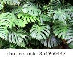 monstera leaf   Shutterstock . vector #351950447