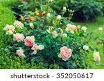 Stock photo rose bush in the garden 352050617