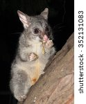 Australian Bush Tailed Possum...