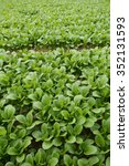 Small photo of Vegetable garden. The name of the vegetables that komatsuna of Japan.