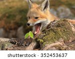 roar of the fox pup after a... | Shutterstock . vector #352453637