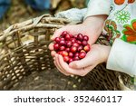 many red coffee cherries in the ... | Shutterstock . vector #352460117