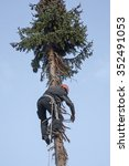 lumberjack climbing high up in the fir tree for felling the tree
