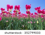 Tulips In A Field In Spring In...
