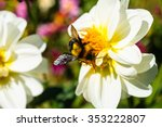 Bumble Bee On Pollen Of White...