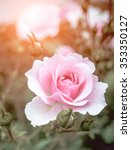 Pink Rose Bush With Flowers An...