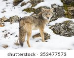 a coyote searches for a meal in ... | Shutterstock . vector #353477573