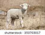 Domestic Sheep  Ovis Aries ...