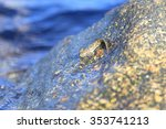 Small photo of The leaping blenny (Alticus saliens) in Japan
