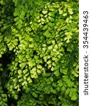 Small photo of Lush Adiantum capillus-veneris, black maidenhair fern, maidenhair fern,or venus hair fern, shot from above and dark tone
