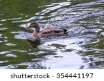 Wild Duck Swimming Peacefully...
