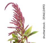 Small photo of Blooming amaranth isolated on a white background.