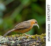 Small photo of Beautiful of Rusty-cheeked Scimitar Babbler Bird, standing on the log showing its side profile in nature of Thailand