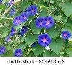 Ipomoea Purpurea  Tricolor