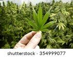 Hand Holding Small Marijuana...