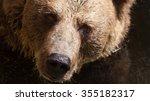 Bear Portrait.