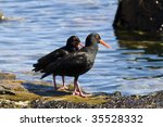 Small photo of An African oystercatcher (Heamatopus moquini), a pitch-black coastal bird with bright-orange feet and beak, found in from Northern Namibia to the Eastern Cape of Southern Africa.