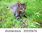 tabby cat lying on the grass | Shutterstock . vector #35535676