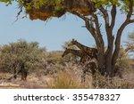 2 Giraffes Under A Tree