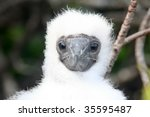 Blue Footed Booby Baby Bird