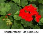 Red House Geranium Pelargonium...
