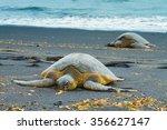 Green Sea Turtles Sleeping On ...