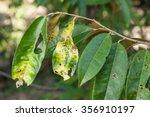 Plant Disease. Septoria Leaf...