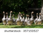 Grey Foie Gras Geese From A Lo...