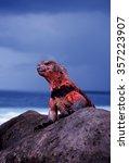 Small photo of Espanola Marine Iguana (Amblyrhynchus cristatus venustissimus) displaying red coloration on Espanola island of the Galapagos