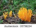 Mushrooms Yellow Stagshorn