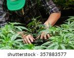 A Farmer Puts His Marijuana...