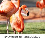 Red Flamingo  Focus On Eyes.