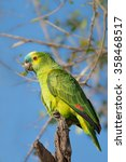 Small photo of A wild Blue fronted Parrot also known as Blue fronted Amazon (Amazona aestiva) perched in a tree against a blue sky and blurred natural background, The Pantanal, Brazil