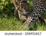 Leopard Bahati Carries Her Cub...