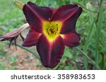 Purple Daylily Front View