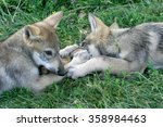 Stock photo gray wolf pups playing in grass 358984463