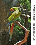 Small photo of Great green macaw (Ara ambiguous) perched on a limb