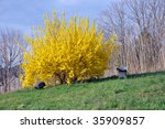 Forsythia On Hill With Guinea...